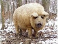 炙燒匈牙利綿羊豬