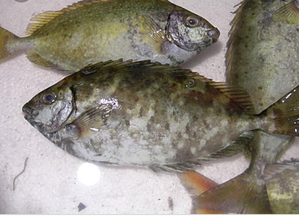 醬油水煮象魚